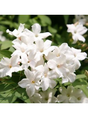 Jasmijn olie absolue (Jasminum officinalis)